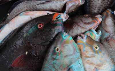 Assessment and Valuation of the Parrotfish Fishery to Support an Ecosystem Approach to Fisheries