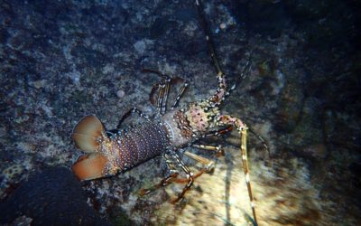 Science based restoration of commercially important spiny lobster habitats to help develop a sustainable fishery