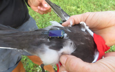 Sooty Tern Satellite Tracking Project assists with identifying potential areas for marine protection