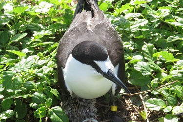 First use of satellite telemetry on small pelagic and abundant seabirds (juvenile Sooty Terns) to define potential Marine Protected Areas through identification of foraging areas used during the gaining of independence from their parents